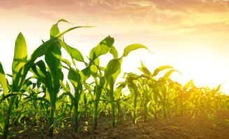 Corn field at dawn