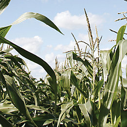 Gros plan champ de maïs