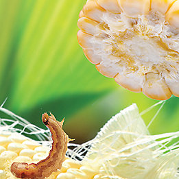 Maïs avec insecte et marteau