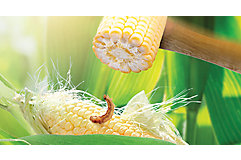 Close-up of corn cob with insect on it