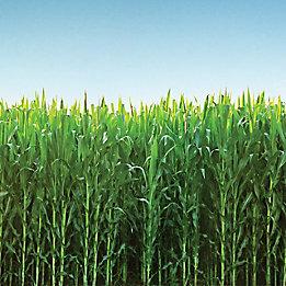 cornfield with blue sky