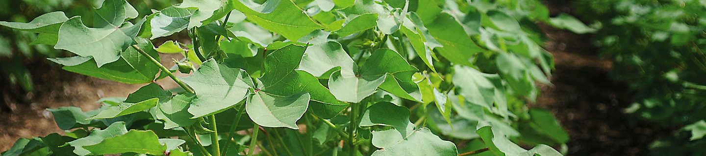 Close up image of cotton leaves on plant in a cotton field