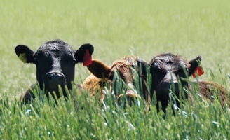 Cow heads in grass