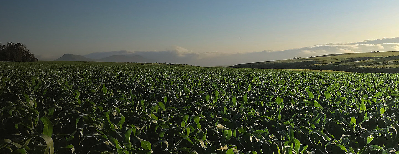 Crop field sunrise on horizon