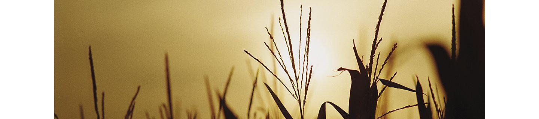 Cato Herbizid Mais
