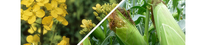 Effigo Nachauflaufherbizid Mais