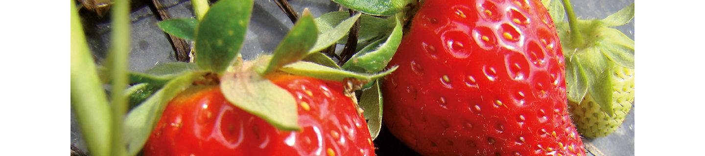 Fortress Fungizid Erdbeeren
