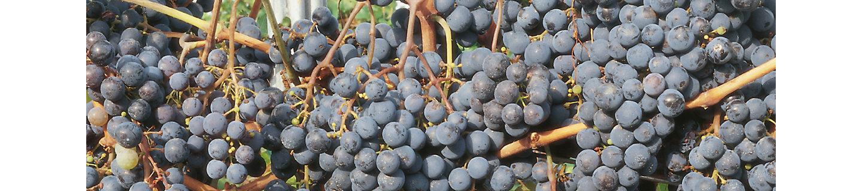 Vento Power flüssiges Fungizid Wein