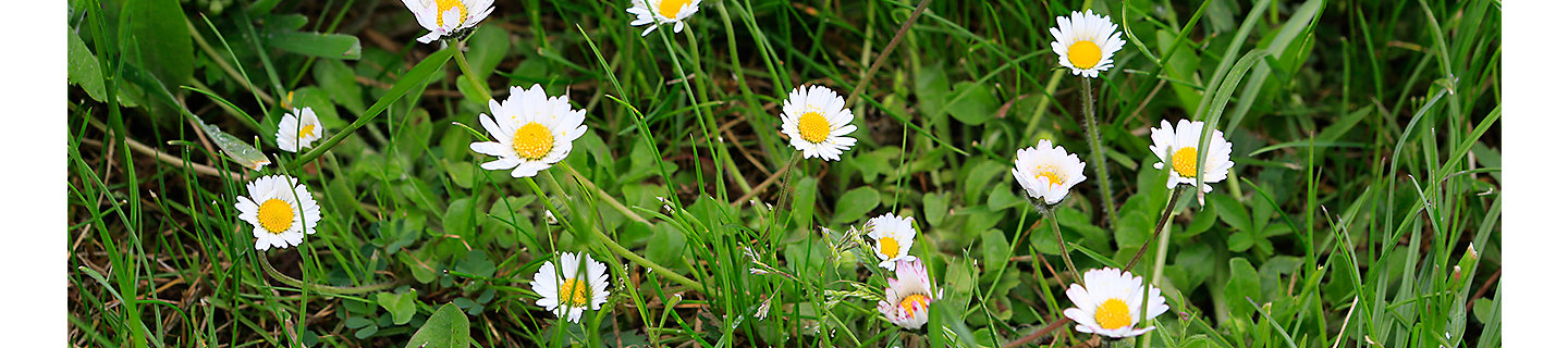daisy weeds in grass