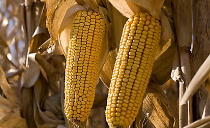 Closeup of corn on feld