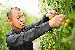 Male farmer checking tomato plant