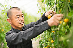 Male farmer checking tomato plant