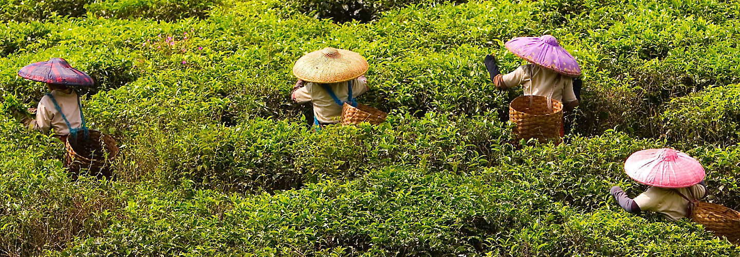 Farmers Harvesting Tea Leaves