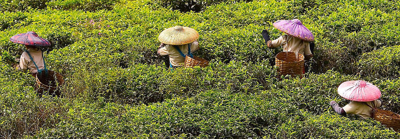 tarlada çay üretimi mobil