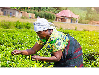 Female Farmer Picks Tea Leaves