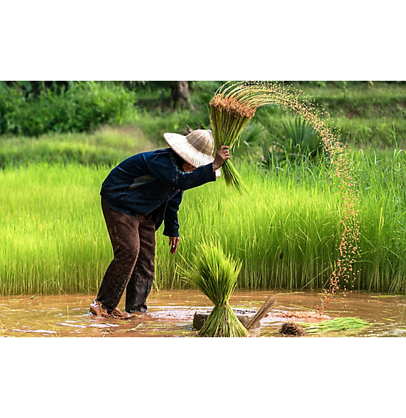 水稻田耕作