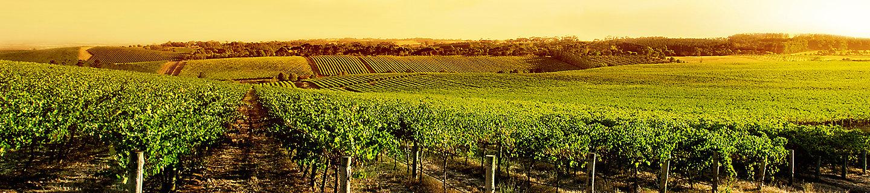 葡萄风景图