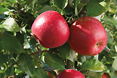 Honeycrisp apples in tree