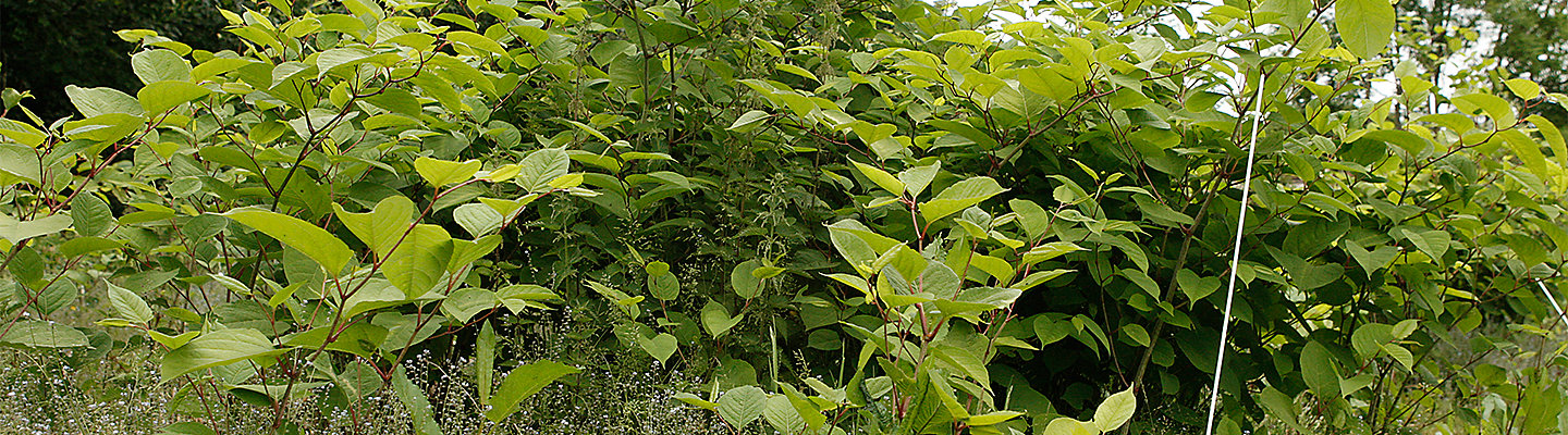 Japanese knotweed stand