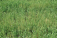 Kochia in barley crop
