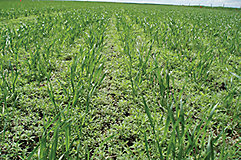 Kochia in wheat crop