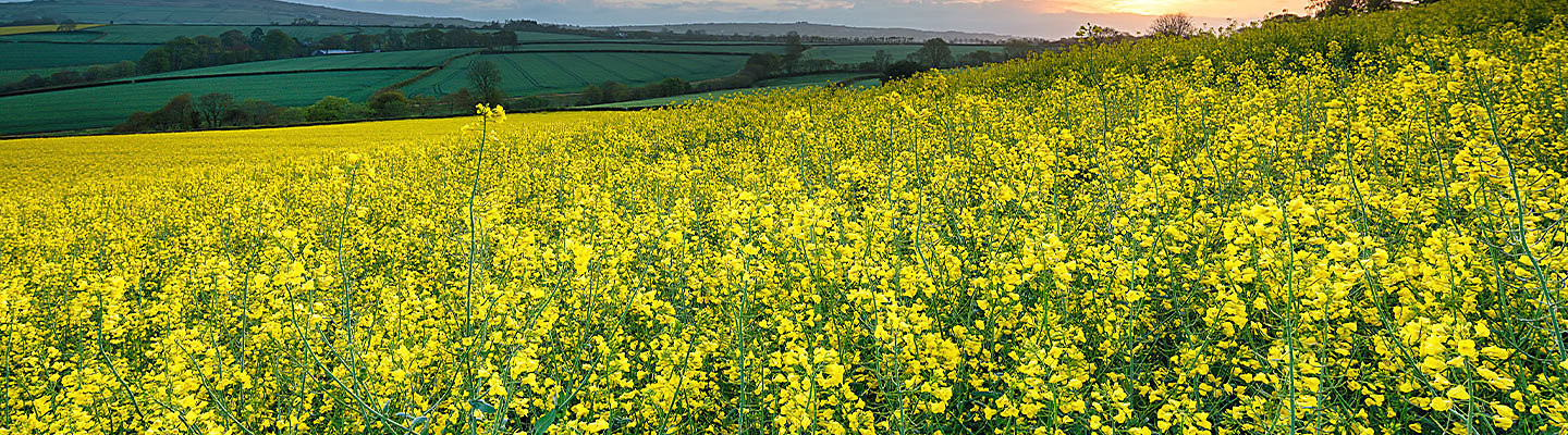 mustard field and plants