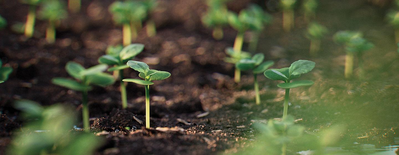 Canola seedling