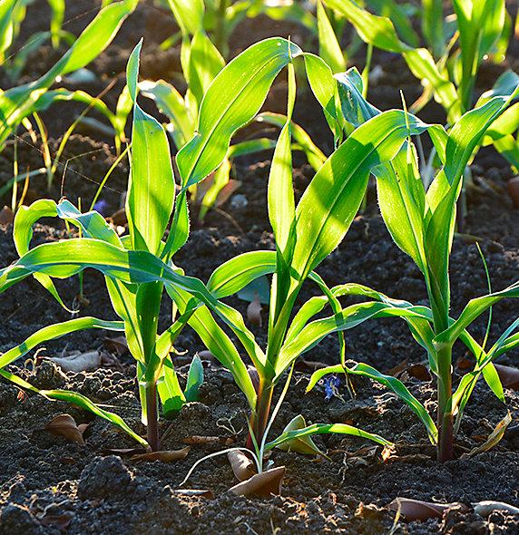 Imagen desktop de maiz crecimiento