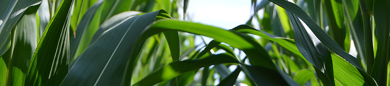Imagen Hojas de maiz para desktop