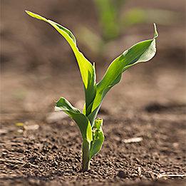 Maíz planta