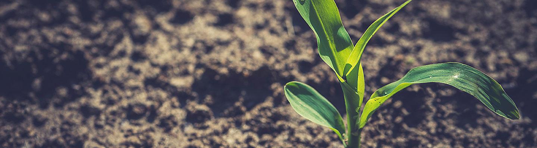 Imagen de pequeño maiz