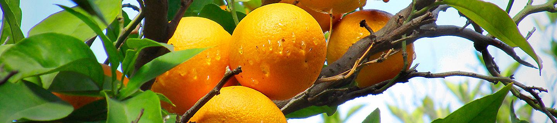 Arbol de naranjas