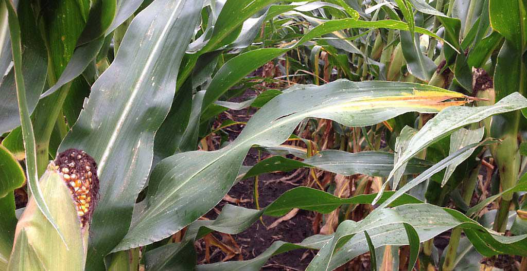 Corn leaves showing nutrient deficiency symptoms.