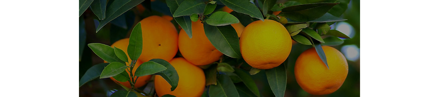 Closeup of oranges on tree