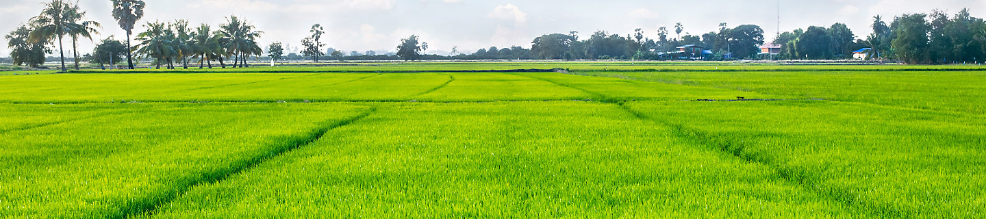 rice field green