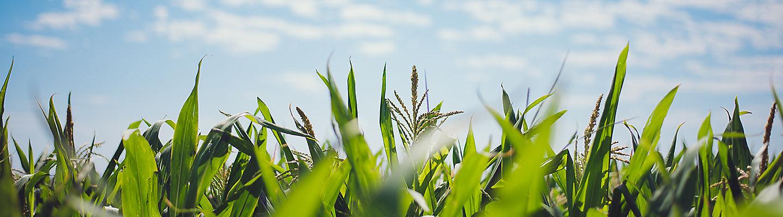 Pioneer Maize