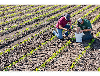 Two men washing the roots of young soybean plants for inspection in a field of emergent soybeans