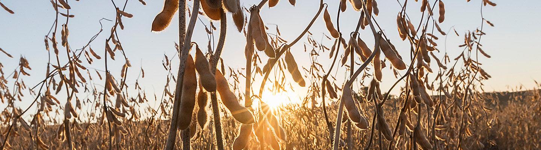 Pioneer Soybean