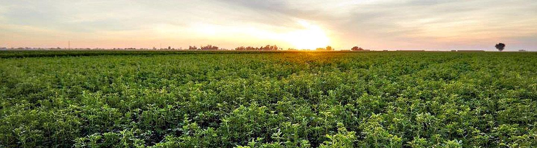 Изгрев над поле с люцерна