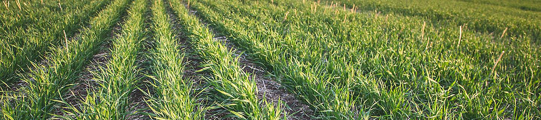 Barley Crop in rows