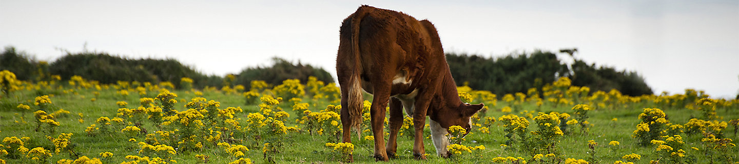 cow in ragwort infested field