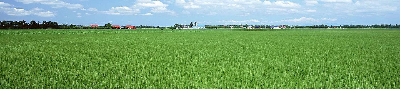 水稻风景图3