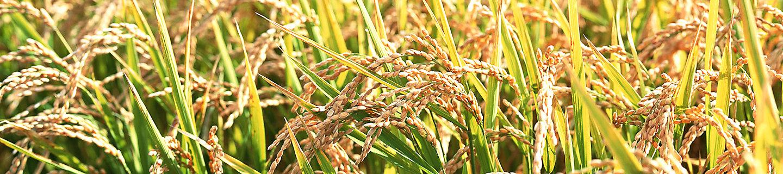 水稻风景图4