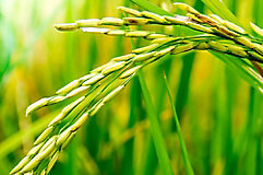 image of close up of rice grains on stalk.