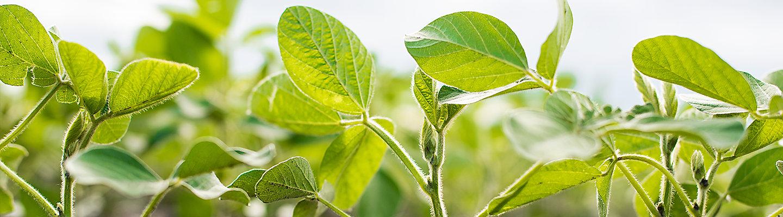 Imagen de la soja y hojas iluminadas