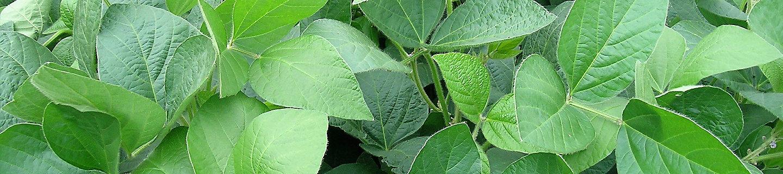 Imagen hojas de soja desktop