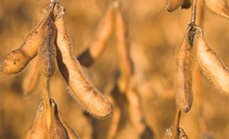 Soybean pod close-up