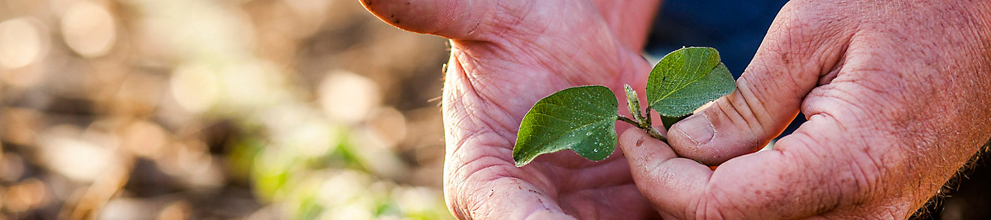 image of man's hand holding young soybean leaves