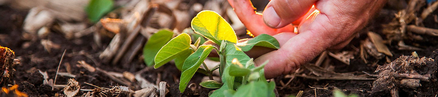 Image of close up of hand touching young soybean plant in field