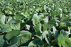 Soybean full leaf close-up